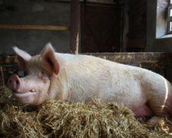 """Free Animal e.V.: Für die Freiheit der """"Nutztiere"""""""