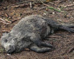 Bauern fordern Wildschweinmassaker