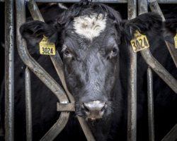 USA: Rinderhalter verlangen Kennzeichnung von Laborfleisch
