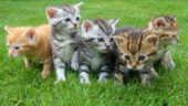 Britische Tierschutzorganisation auf Irrwegen: Verurteilung veganer Katzenernährung
