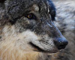 Was sagt der Wolfsabschuss über die Gesellschaft?