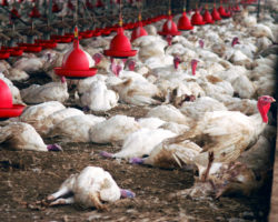 Nutztierhaltung, Krankheit und globale Tiervernichtung